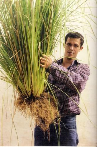 plantas de Vetiver en Ecuador
